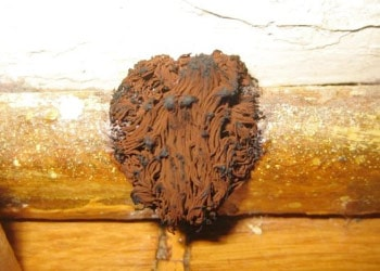 Brown Mold