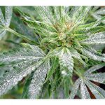 How To Get Rid Of White Mold Cannabis Plants