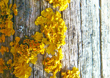 Yellow Mold Facts