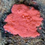 Pink Mold On Wood